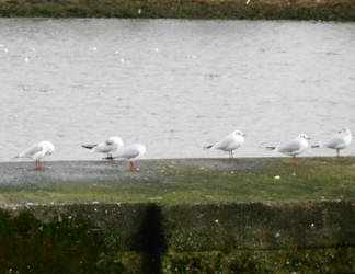 Gulls by Keresaspa