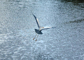 Flight of the heron by Keresaspa