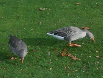 York geese 2 by Keresaspa