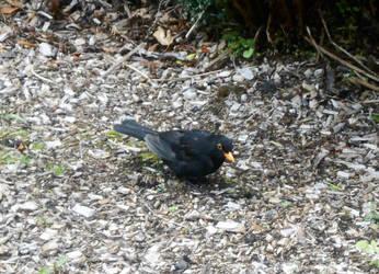 Blackbird by Keresaspa