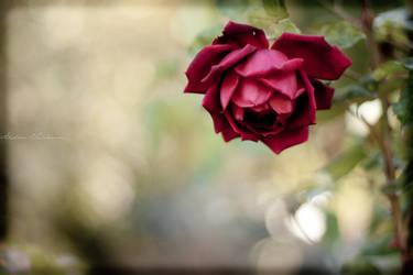 Rose Wallpaper by WeltKatastrophe