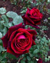 Royal Rose by brittanyfay