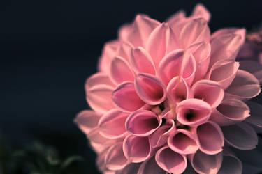 Pink II by OlexD