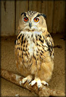 Eagle-owl by DanaAnderson