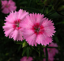 .pink dianthus duo. by Foozma73
