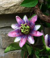 Passion Flower by Foozma73