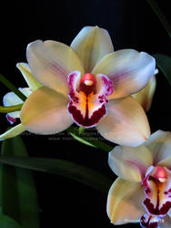 Orchid Show 2015 no.20 by Foozma73