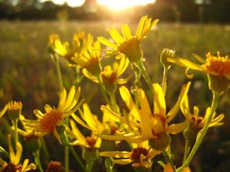 Yellow flowers by Azguhlar