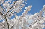 Spring blooms by snoogaloo