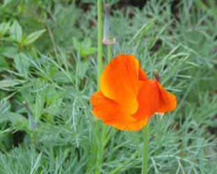 Spring Poppy by gentlegenius