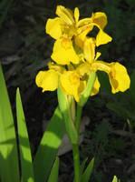 Yellow Flag by gentlegenius