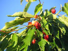 Ripening Cherries by gentlegenius