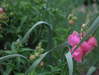 Snapdragons in the grass by gentlegenius