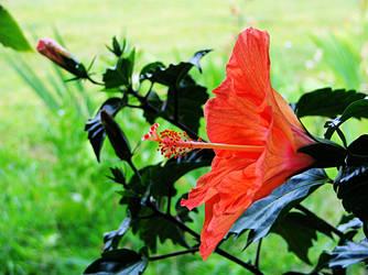 Hibiscus Sensation 2 by gentlegenius