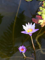 Pond Lillies by gentlegenius
