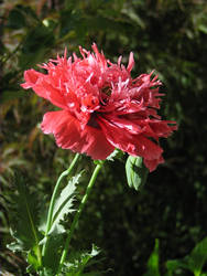 Poppy frills by gentlegenius