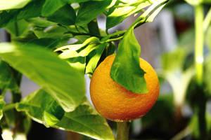 Temperate Tangerine by gentlegenius