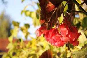 Begonia Blossoms by gentlegenius