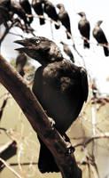Blackbirds by JanKacar