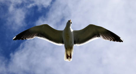 Seagull by JanKacar