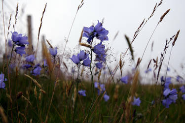 Highland Bluebell by JanKacar
