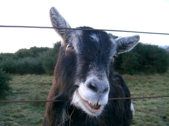 Billy Goat by Mookeynuts