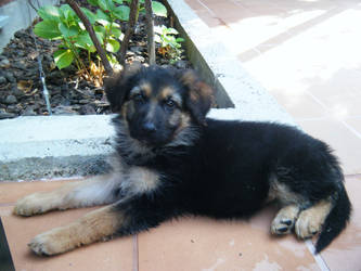 Puppy Zira by GLC19