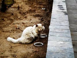 Beijing Street Cat by asaspades101
