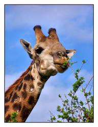 Giraffe having a nibble by kobie