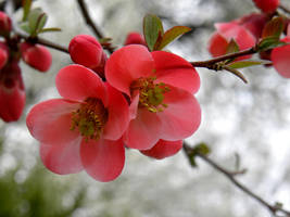 Spring Tree Blossoms by artamusica
