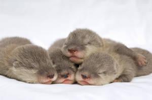 baby sea otters by Ticoart