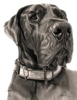 Commission - Great Dane 'Zeus' by Captured-In-Pencil
