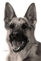 Commission - 'Sasha' the German Shepherd by Captured-In-Pencil
