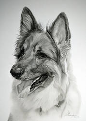 Commission - German Shepherd 'Willow' by Captured-In-Pencil