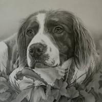 Commission - Springer Spaniel 'Ugo' by Captured-In-Pencil