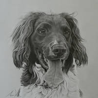 Commission - Springer Spaniel 'Peter' by Captured-In-Pencil