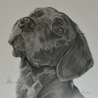 Commission - Springer/Labrador cross 'Ray' by Captured-In-Pencil