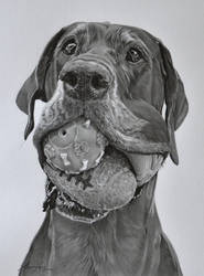 Commission - Great Dane 'Noa' by Captured-In-Pencil