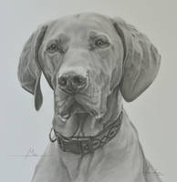 Commission - Hungarian Vizsla 'Mac' by Captured-In-Pencil