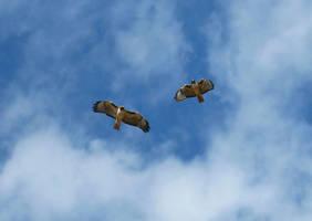 Red-tail Hawks by BeautifulDragon322