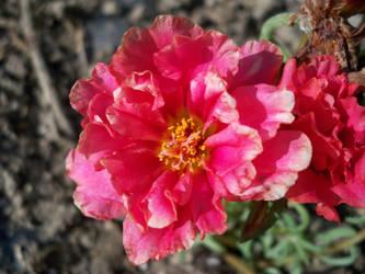 rose moss by edwardburkitt2005
