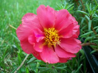 rose moss 2.0 by edwardburkitt2005