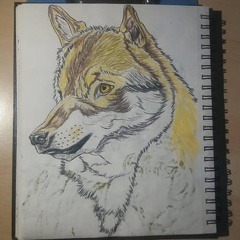 Canis lupus by pcitr
