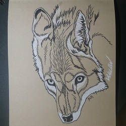 Canis latrans by pcitr
