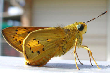 Macro Moth by cabaran