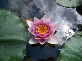 Water Lily by ArtFreak10192