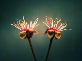 Twin flowers by En-GeL