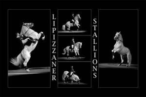 Lipizzaner Stallions by fangedfem