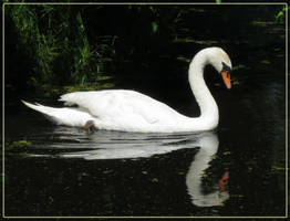 Swan reflection by Mutabi