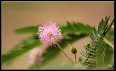 My mimosa by Mutabi